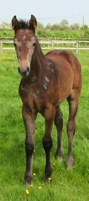 Young Sport Horse