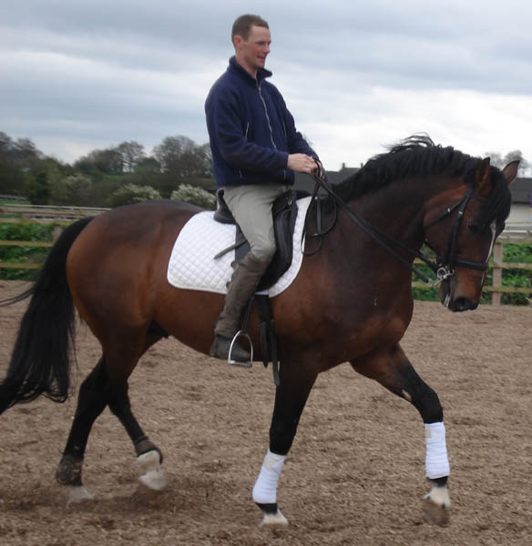 Selle Francais Dressage Stallion