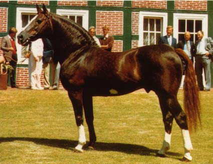 Oldenburg Breeding Stallion Furioso II