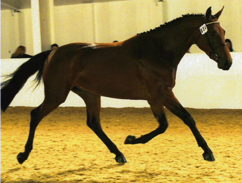 Sport Horse For Sale