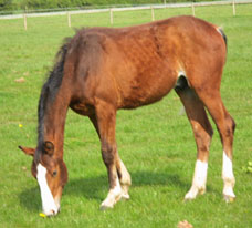 Showjumping Foal For Sale
