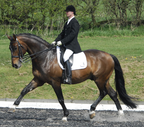 Selle Francais Dressage Stallion - Froufrou D`anchin
