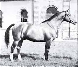ibrahim - Selle Français breeding stallion